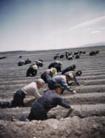 Japanese American laborers at Tule Lake War Relocation Center, Tule Lake, California. Library of Congress.
