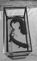 [Salamanders from Japan, February 10, 1950]