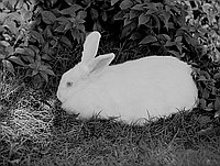 [Year of the rabbit, December 1950]